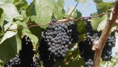 Wine Grapes - Paso Robles Digital Film Festival